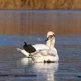 Mute swans and coot stock photo