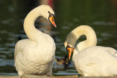 Mute swans couple Stock Photos