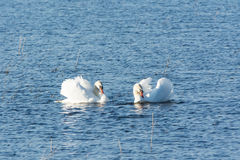 Mute swans courting. Male and female swan dancing a courting dance on a lake stock photos