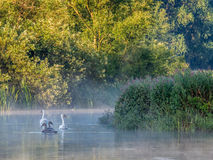 Mute Swans and cygnets in Misty Morning Sun Royalty Free Stock Photos