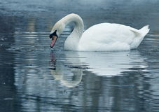 Mute Swans (Cygnus olor) Stock Photography