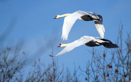 Mute Swans (Cygnus olor) in flight. Stock Photography