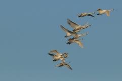 Mute swans (Cygnus olor) Stock Photos