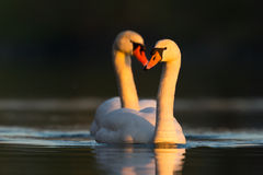 Mute swans (Cygnus olor) in love stock photography