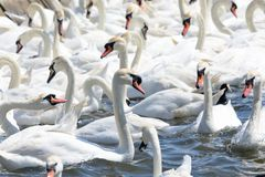 Mute swans cygnus olor. In the water royalty free stock image