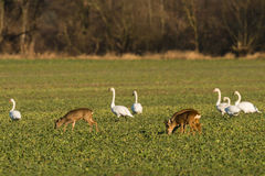 Mute Swans and Deers Stock Images
