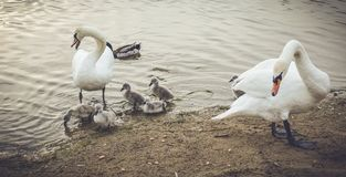 Mute Swans defending their offspring. Mute Swan parents in lake together with offspring Stock Photography