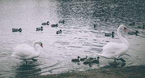 Mute Swans defending their offspring. Mute Swan parents in lake together with offspring Stock Images