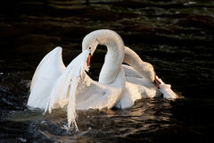 Mute swans display aggressive and tender behaviour during mating Royalty Free Stock Photography