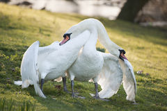 Mute swans display aggressive and tender behaviour during mating Royalty Free Stock Photo