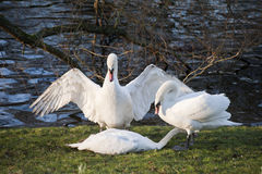 Mute swans display aggressive and tender behaviour during mating Stock Photography