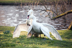 Mute swans display aggressive and tender behaviour during mating Royalty Free Stock Photos