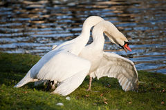 Mute swans display aggressive and tender behaviour during mating Stock Images