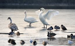 Mute swans and ducks on a frozen lake. Royalty Free Stock Photography