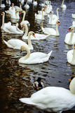 Mute swans and ducks. Waterfowl wild birds swim on blue water on river or lake background royalty free stock photography