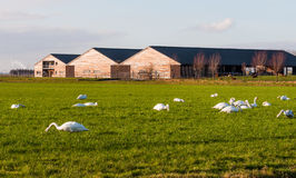 Mute swans eating grass Royalty Free Stock Photos