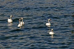 Mute swans family, Cygnus olor Royalty Free Stock Image