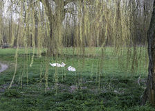 Mute Swans feeding under Weeping Willow. Pair of Mute Swans settled under a Weeping Willow feeding on grass royalty free stock photos