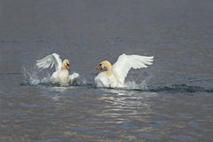 Mute swans fighting for dominance. Two male swans, Cygnus olor, during a fight for supremacy in mating season stock image