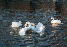 Mute swans fighting. Stock Image