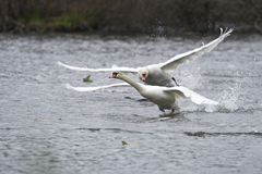 Mute swans fighting. Royalty Free Stock Photography