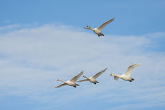 Mute swans in flight stock images
