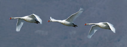 Mute swans in flight. A flock of three mute swans in flight Stock Photos