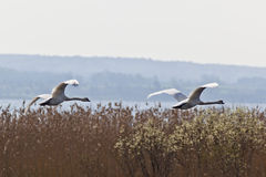 Mute Swans flying Royalty Free Stock Photography