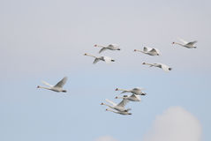 Mute Swans flying Royalty Free Stock Photos