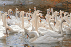 Mute Swans. A group of swans await food in milton keynes, england, UK Stock Photos