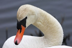Mute Swans head and neck. Close up of white Mute Swans head and neck Stock Photos