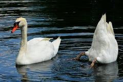 Mute Swans Stock Photo