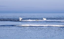 Swans between ice floes. Mute swans between ice floes at the Finnish Gulf of the Baltic Sea Royalty Free Stock Images