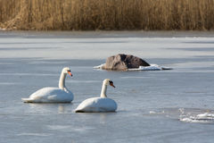 Mute Swans on ice royalty free stock photos