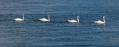 Mute Swans IV. Four Mute Swans swim in single file Stock Photo