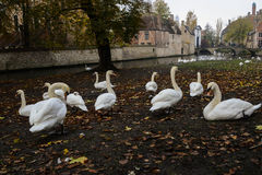 Mute Swans living in a town Stock Photos