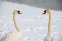 Mute Swans In love Stock Images