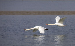 Mute Swans in Low Flight Stock Photography