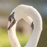 Mute swans making shape of heart with necks Royalty Free Stock Photo