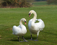 Mute Swans mated pair Royalty Free Stock Image