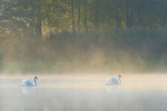 Mute swans in mist Royalty Free Stock Photo