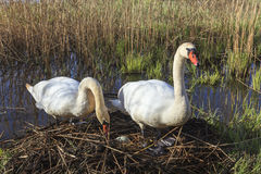 Mute swans at nest Stock Photo