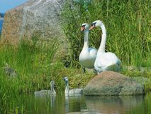 Mute swans with nestlings Stock Images