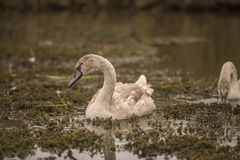 Mute Swans on the Norfolk Broads. Eating the vegetation from the top of the water royalty free stock photo