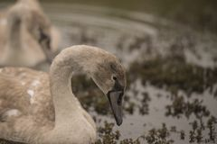 Mute Swans on the Norfolk Broads. Feeding on the vegetation from the top of the water stock images