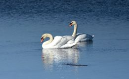 Mute Swans. A pair of mute swans, Cygnus olor, swimming in blue water royalty free stock images