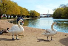 Mute swans on the riverbank, Peterborough. Stock Photos