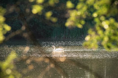 Mute Swans Seen Through Leaves and Branches Royalty Free Stock Photography
