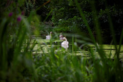 Mute Swans Seen Through Reeds Stock Photography