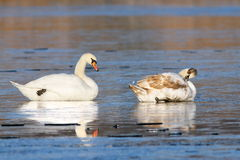 Mute swans standing on frozen lake Stock Photography
